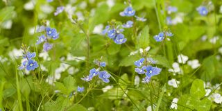 Blossoming veronica with blue flowers  in the summer forest. Delicate blue flowers of wild veronica flowering in a summer field or on a meadow stock photography