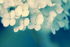 Blossoming viburnum flowers Stock Photography