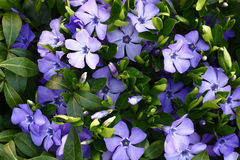 Blossoming vinca. Royalty Free Stock Images