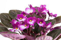 Blossoming violet saintpaulia Royalty Free Stock Photo