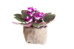 Blossoming violet Stock Image