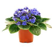 Blossoming Violets Stock Photos