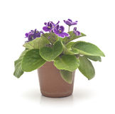Blossoming violets in flower pot Royalty Free Stock Photo