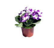 Blossoming violets in flowerpot  Stock Images
