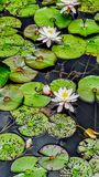 Water lilies in water royalty free stock photo