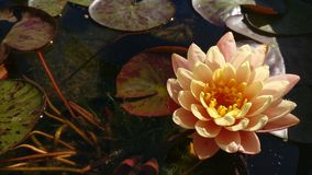 Water lilly. Blossoming water lilly royalty free stock images