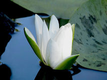 Blossoming Water-lily. Flowering Water lily white on the river Dnieper.   Nymphaéa álba Royalty Free Stock Photos
