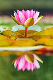 Blossoming water lily in a pond. Blossoming pink with white water lily in a pond reflected by the water Stock Images