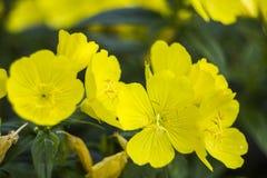 Blossoming weedy evening primrose Oenothera biennis Royalty Free Stock Image