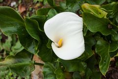 Blossoming white cala lily with green leaves royalty free stock photography