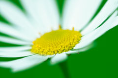 Blossoming white camomiles Stock Photos