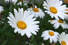 Blossoming white camomiles Stock Photography