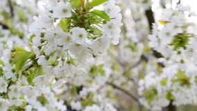 Blossoming white cherry tree flowers swaying in breeze. Blossoming white cherry tree flowers gently swaying in breeze on blurred white and green background in stock video