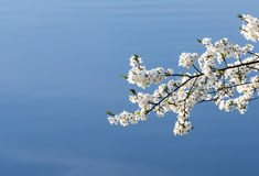 Blossoming white cherry tree Stock Photos