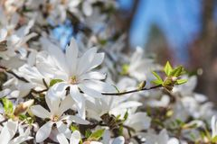 Blossoming white flower background, natural wallpaper, flowering magnolia kobus branch in spring garden. Blossoming of magnolia kobus white flowers in a spring royalty free stock images
