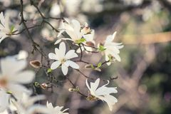 Blossoming white flower background, natural wallpaper, flowering magnolia kobus branch in spring garden. Blossoming white flower background, natural wallpaper royalty free stock photo