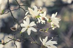Blossoming white flower background, natural wallpaper, flowering magnolia kobus branch in spring garden. Blossoming white flower background, natural wallpaper royalty free stock images