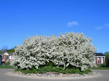 Blossoming white flower trees Royalty Free Stock Image