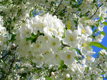 Blossoming white flower trees. Close-up of white flower cherry trees in spring stock image