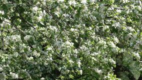Blossoming with white flowers. A large fruit tree in the spring botanical garden stock video footage