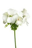 Blossoming white geranium Stock Photos