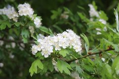 Blossoming white hawthorn stock photography