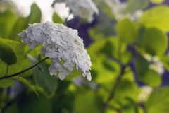 Blossoming white hydrangea stock photography