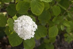 Blossoming white hydrangea royalty free stock images