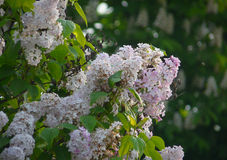 Blossoming white lilac. In a botanical garden Stock Photography