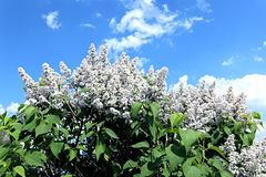 Blossoming white lilac Royalty Free Stock Photo