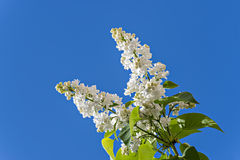 Blossoming white lilac isolated on blue sky Stock Images
