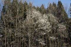 Blossoming white magnolia kobus. Tree in broadleaf tree and conifer combined forest Stock Photos