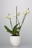 White Orchid in White Flower Pot Royalty Free Stock Image