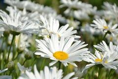 Blossoming white ox-eye-daisies in the garden. Springtime Royalty Free Stock Photos