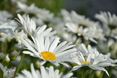 Blossoming white ox-eye-daisies in the garden. Springtime Royalty Free Stock Image