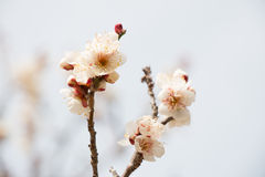 Blossoming white plum flowers Stock Photo