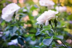 Blossoming white rose. A beautiful bud of a blossoming white rose Royalty Free Stock Photos