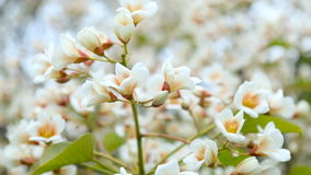 Blossoming white small flowers on a tree stock footage