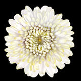 Blossoming White Strawflower Isolated on Black Background Stock Photography