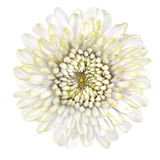 Blossoming White Strawflower Isolated on White Background Royalty Free Stock Photos