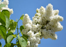 The blossoming white terry lilac (Syringa L.) against the sky Stock Images