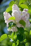 The blossoming white terry lilac (Syringa L.), grade Stock Photography