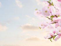 Blossoming white  tree Flowers Royalty Free Stock Photography