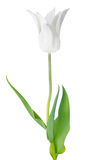 Blossoming white Tulip flower is isolated on white Royalty Free Stock Photography