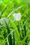 Blossoming white tulip Royalty Free Stock Photography