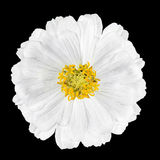 Blossoming White Zinnia Flower Elegans Isolated on Black Stock Photography