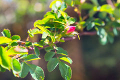 Blossoming wild dog rose flower Royalty Free Stock Photos