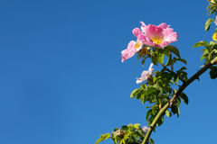 Blossoming wild dog rose flower on blue sky panorama Stock Photography