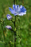 Blossoming wild flowers chicory Royalty Free Stock Photos