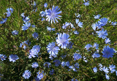 Blossoming wild flowers chicory Stock Image